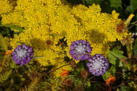 Primula capitata with sedum reflexum
