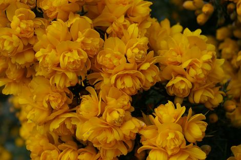 Ulex 'Irish Double'.