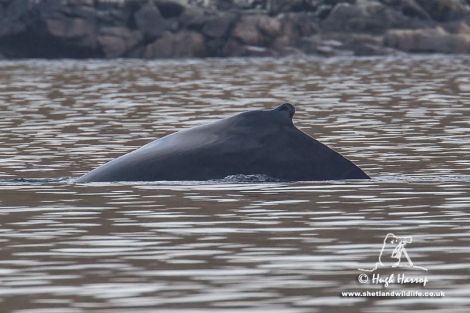 Hugh Harrop's photo of the distinctive dorsal fin identifies this as the same whale as was seen off Muckle Roe on Friday. Pic. Hugh Harrop/Shetland Wildlife