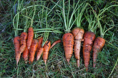 January carrots.
