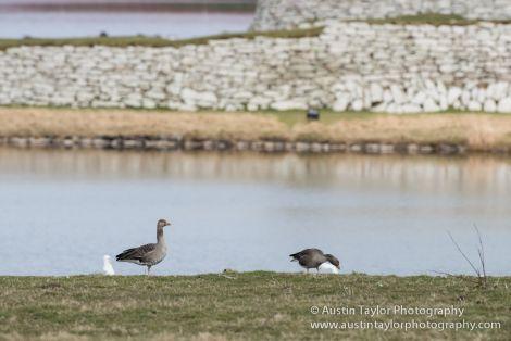 Greylag geese starting to invade Lerwick - Photo: Austin Taylor