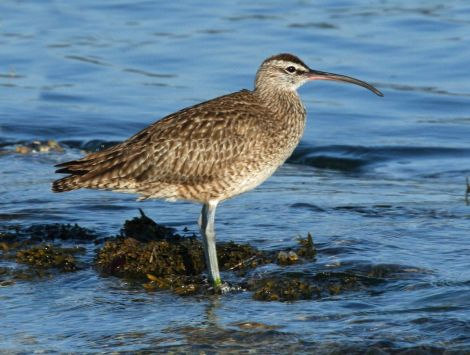 Whimbrel's declining numbers in Shetland have played a key part in the case.