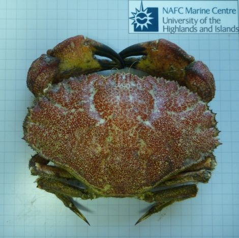 The Toothed Rock Crab handed in to the NAFC, the first one found off Shetland for nearly 50 years.