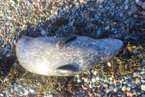 The young female common seal that washed up on Hillswick's East Ayre on 5 January. Photo HWS