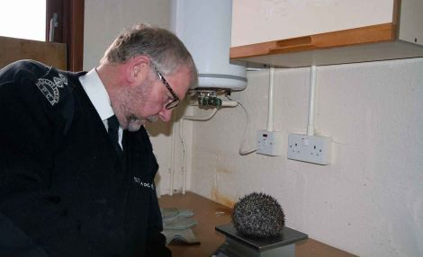 SSPCA inspector Ron Patterson with the last hedgehog to be cared for at the Shetland wildlife rescue unit, which closed on Friday. The hedgehog returns to Trondra this week. Photo Shetnews