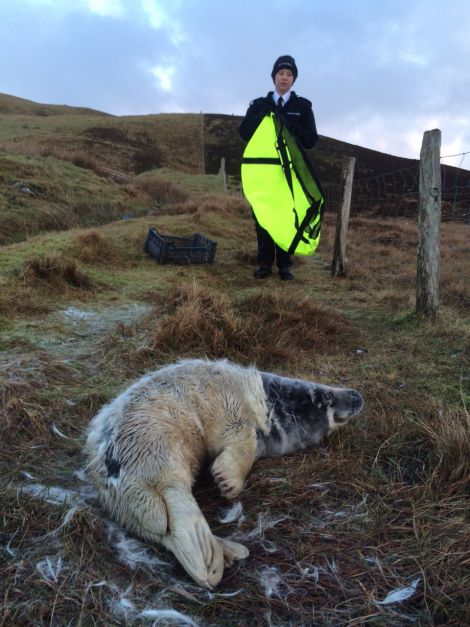 SSPCA auxiliary officer Terresa Leask with the seal she collected from Wester Quarff on Christmas Day. Photo: Luke Holt