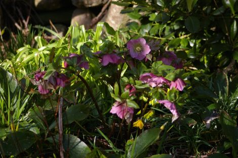 The Oriental Hellebore starts flowing in early March.