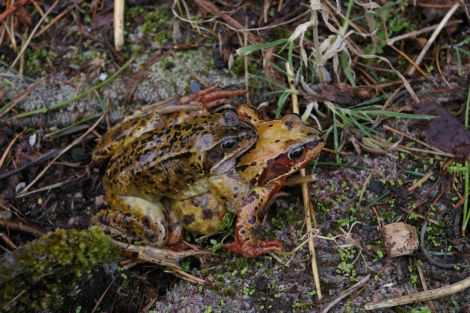 The brown or common frog Rana temporaria is one of the first heralds of spring.