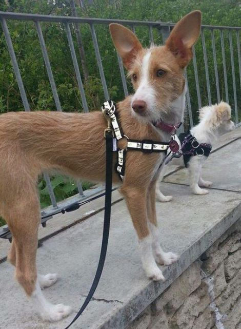 A woman searching for four rescue dogs that went missing from their Glasgow adopters believes this brown and white Ibizan hound, Pia, may have been spotted in Lerwick.