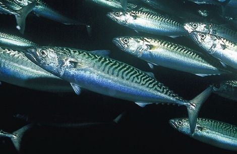Mackerel abundance is being disputed by scientists and fishermen.