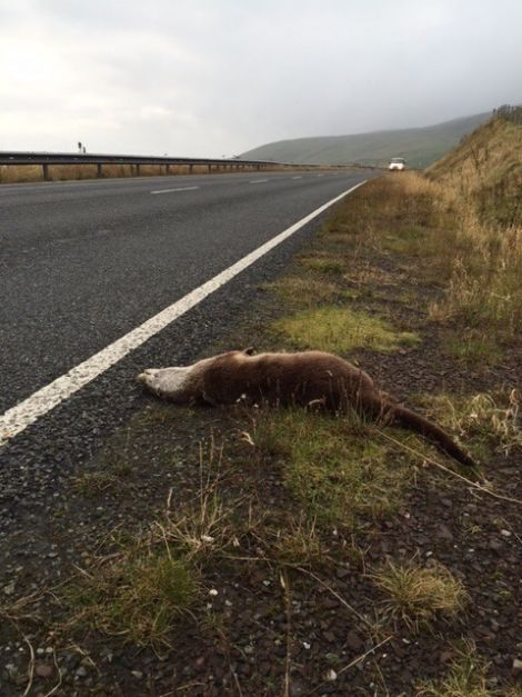 The dead otter Karen Hall from SNH found on the road south of Cunningsburgh last week. Photo Karen Hall
