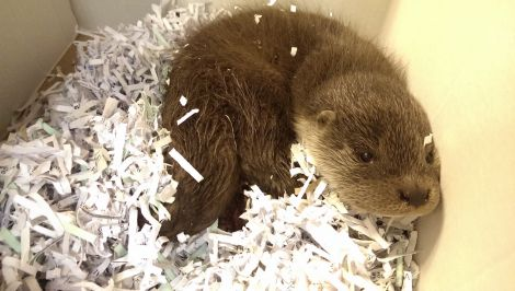 Wink the otter who caused a commotion at Lerwick police station after being handed in on Thursday morning. Photo Chris Cope/Shetnews