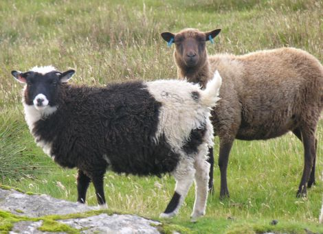 The European market for Shetland hill lamb appears to have collapsed - Photo: ShetNews