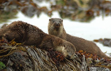 Otters relaxing on the island. Photo: Brydon Thomason.
