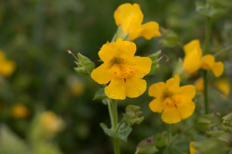 Shetland's monkeyflower is larger than the typical monkeyflower and its flowers are more open. Photos: University of Stirling
