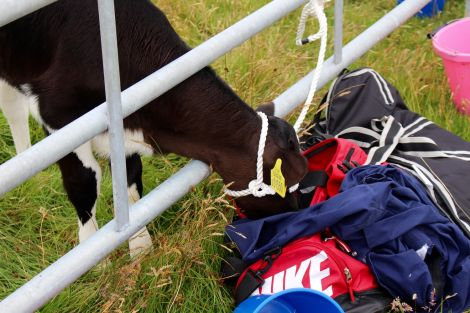 A calf getting nosy and examining the contents of a holdall. Photo: Shetland News/Chris Cope.