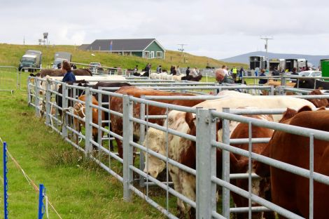 """Cattle, sheep and """"just about everything else"""" were on show. Photo: Shetland News/Chris Cope."""