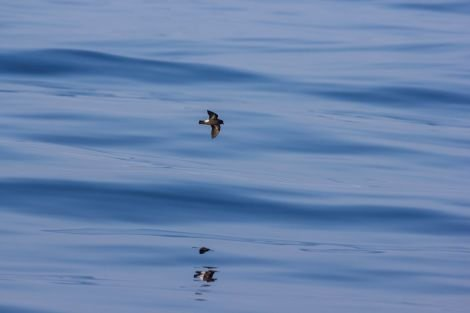 The elusive storm petrel, as captured by Ed Marshall.