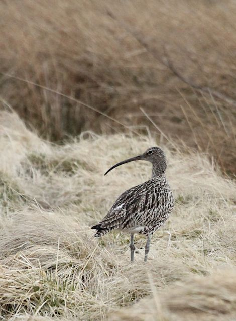 Sixty per cent of curlews have been lost across Scotland over the last two decades. Photo: Ian Francis/RSPB