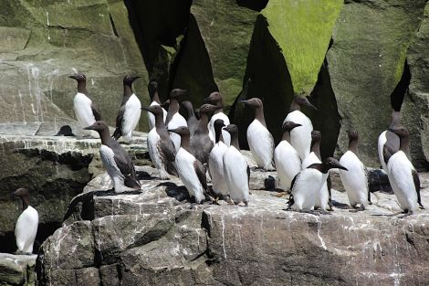 Guillemots at Noss. Photo: Shetland News