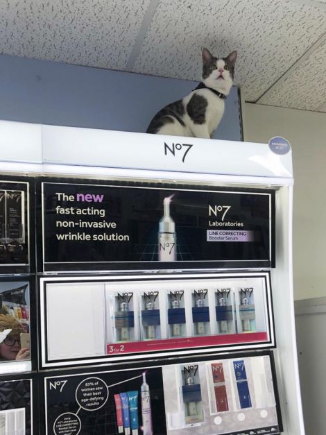 Puss in Boots? Tommy checks out the make-up section at the Lerwick pharmacy. Photo: Mandy Robertson